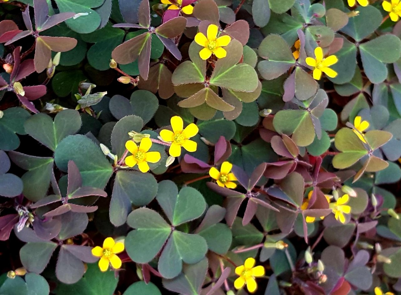 Weed of the Month-- Wood Sorrel