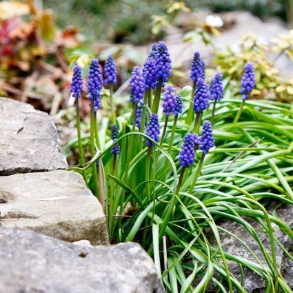 Weed of the Month -- Wild Grape Hyacinth
