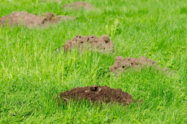 What Do Moles & Mole Holes Look Like