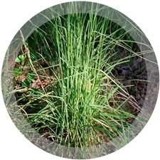 Broomsedge