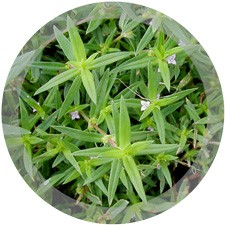 Buttonweed