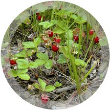 how to get rid of wild strawberries in lawn